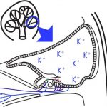 感音性難聴のとき内耳で起こっていることの詳細へ