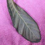 枇杷の葉温灸のやり方の詳細へ